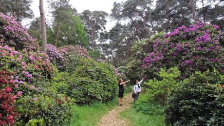 Der Rhododendronpark Hobbie ist mit 70 Hektar Fläche der größte in Deutschland. Foto: Bernd F. Meier