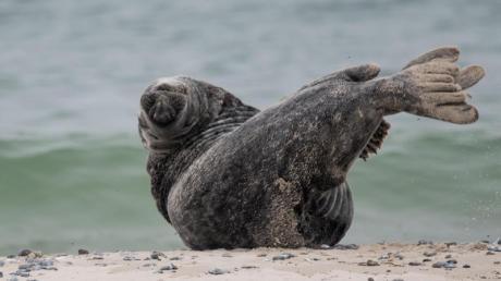 Nicht nur diese Robbe weiß momentan die kühlen Wassertemperaturen der Insel Helgoland zu schätzen. Foto: Axel Heimken