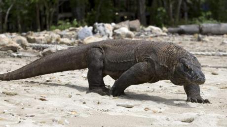 Ein Komodowaran im Komodo Island Nationalpark.