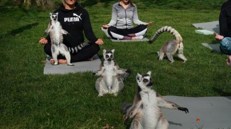 Eine Lemoga-Sitzung in England: Lemuren machen fleißig mit.