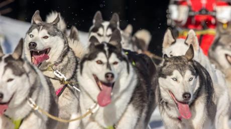 Mit dem Hundeschlitten durch die Wälder Thüringens - ein Erlebnis, das man sonst eher in Alaska oder Skandinavien verortet. Foto: Michael Reichel/dpa-Zentralbild/dpa-tmn
