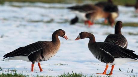 Blässgänse am Niederrhein: Die Tiere kommen aus der russischen Arktis und fressen sich in ihrem Winterquartier wieder so richtig voll. Foto: Uli Frömming/NABU-Naturschutzstation Niederrhein/dpa-tmn