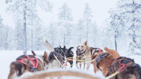 In der schwedischen Skiregion Sälen in Dalarna können Gäste statt mit einem Transferbus im Hundeschlitten zum Hotel fahren.