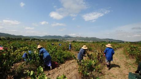 Tunesischer Wein soll dabei helfen, eine neue Art von Urlauber anzulocken - und das Land abseits der Strände bekannter zu machen.