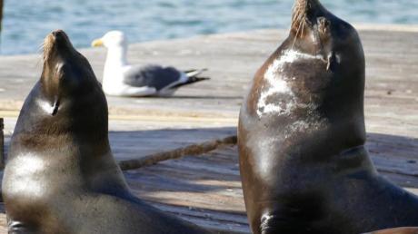 Seelöwen liegen auf den Pontons am Pier 39 am Fisherman's Wharf. Seit 30 Jahren bieten die Tiere für Besucher eine große Show.
