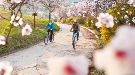 Die Mandelblüte taucht die Pfalz im Frühling in ein zartes Rosa.