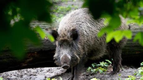 Wer auf ein Wildschwein trifft, sollte erst einmal still stehenbleiben, leise sein oder sich hinter einem Baum verstecken. Dann das Tier beobachten und sich langsam in eine andere Richtung zurückziehen.