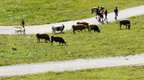 Wenn man beim Wandern plötzlich einer Kuh begegnet, sollte man zügig vorbeigehen. Auf keinen Fall auf eine Kuh zugehen und ihr auch nicht in die Augen schauen.