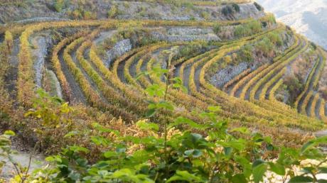 Hier wachsen die Trauben für die guten Tropfen:Rebgärten der Kellerei Tsiakkas.