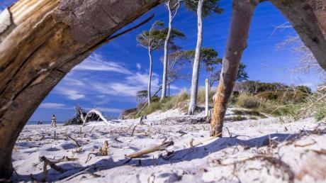 Windschiefe Bäume am weißen Sandstrand: Die Ostsee-Halbinsel Fischland-Darß-Zingst ist bekannt für ihr romantisches Landschaftsbild.