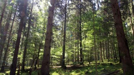 Auf der Börfinker Ochsentour spazieren Besucher des Nationalparks durch Mischwald aus Fichten und alten Buchen.
