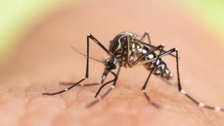 Die Tigermücke kannDengue-Fieber übertragen. Das Virus ist weltweit auf dem Vormarsch.
