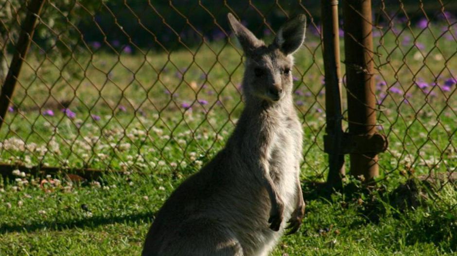 Lebt Stauden-Känguru Knicksy noch? Ein Leser will es vergangene Woche gesehen haben.