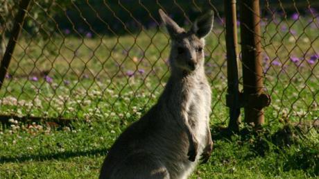 Ein Känguru mit einem Narkose-Gewehr zu betäuben, ist laut einem Tierarzt nahezu unmöglich.