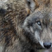 wolf(1)(2).jpg