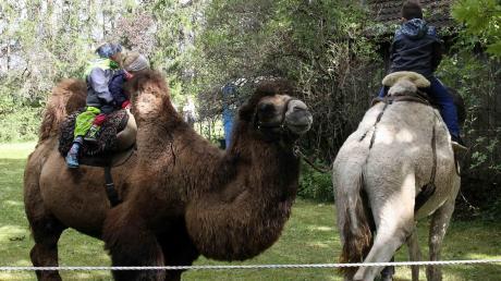 Das Kamelreiten war eine der Attraktionen beim Alpaka-Hoffest in Obermeitingen.