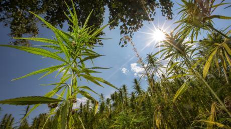 250 Gramm Marihuana fand die Polizei in der Wohnung des Angeklagten, der nun für mehr als fünf Jahre ins Gefängnis muss.