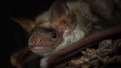 Fledermäuse wie dieses Exemplar der Gattung Mausohr sind allgegenwärtig, die meisten Menschen bemerken sie nur nicht. In der Fledermausstation auf Gut Morhard können verletzte Fledermäuse in Ruhe wieder zu Kräften kommen – und Besucher erfahren viel über die nachtaktiven Tiere.