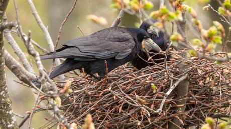 Krähen sind hochintelligente Tiere, die unter Naturschutz stehen. Die Anwohner in Schwabmünchen sind allerdings genervt.