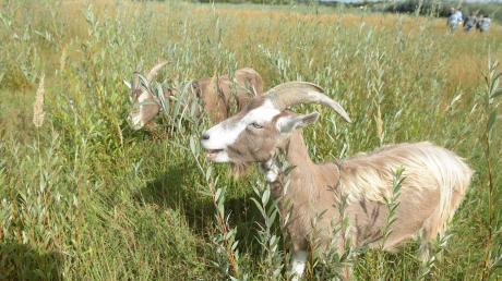Grünes Vorzeigeprojekt in Königsbrunn: Eine ehemalige Kiesgrube der Klaus-Gruppe wird zum ökologischen Vorzeigeprojekt. Die Beweidung durch die Ziegen unterstützt den Erhalt der Artenvielfalt.