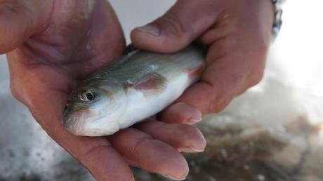 Insgesamt 14 kleine Fische hatten zwei Männer bei Graben gefangen.