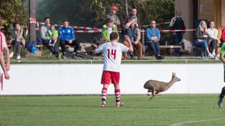 """""""Ich glaub', ich steh im Wald!"""" Das werden sich Spieler des FC Langweid und des VfL Westendorf gedacht haben, als plötzlich ein Reh quer über das Spielfeld sprintete."""