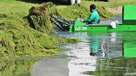Im Lauinger Auwaldsee finden derzeit Mäharbeiten statt.