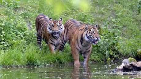 Ein Sumatra-Tiger hat in Indonesien eine Frau getötet.