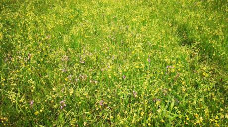 Das Biotop bei Kleinberghofen wurde durch den illegalen Einsatz von Herbiziden nachhaltig geschädigt. Zu sehen sind Traktorspuren. Die Polizei hofft nun auf Zeugenhinweise.
