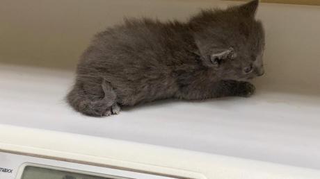 Vor dem Amtsgericht Günzburg musste sich ein junges Paar verantworten, weil es sechs Katzen nach einem Umzug in ihrer Wohnung zurückgelassen hatte. Eines von vier Katzenbabys wog nur noch etwas mehr als 200 Gramm und hätte einen weiteren Tag nicht überlebt.