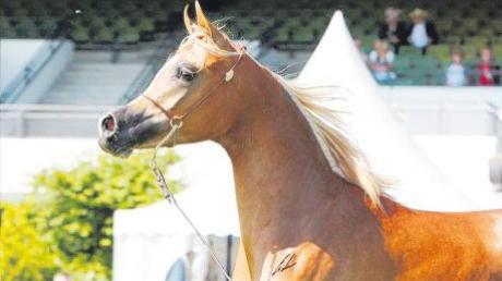 """""""RP Grace Kelly"""" wurde bei der internationalen B-Schau in Frankfurt 2010 Championesse. Die Stute von Petra Hammer und Rocco Moliterno steht in Villenbach."""