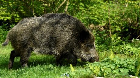Überqueren Straßen und lösen dabei Unfälle aus: Wildschweine.
