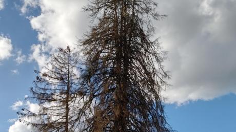 Die Napoleonstanne ist das heimliche Wahrzeichen Wertingens. Eigentlich soll sie bald gefällt werden. Doch der Allmannshofener Wissenschaftler Professor Dr. Michael Heine will den Baum als Forschungsobjekt nutzen.
