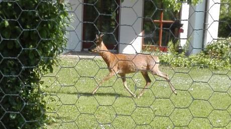 Offensichtlich keine Seltenheit: Ein Rehbock in einem Garten im Wertinger Marienfeld. Das Tier hat es dort auf Rosenknospen abgesehen.