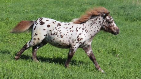 """Es tobt gerne und es hat rote Haare: Seinem Namensvetter ist das Pony """"Pumuckl"""" durchaus ähnlich."""