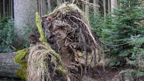 """Ein alter Baum hat den Sturm """"Sabine"""" im Wald bei Laugna nicht überlebt. Die Fichte muss aus waldhygienischen Gründen möglichst bald entfernt werden."""