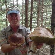 """Diesen Riesensteinpilz hat der Wertinger Johann Ullmann dieser Tage im Wald gefunden. Sein Schirm hat einen Durchmesser von 20 Zentimeter, und der Pilz ist 27 Zentimeter hoch. """"Ich gehe schon seit meiner Jugend jedes Jahr in die Pilze, so ein Riesenexemplar habe ich noch nie gefunden"""", sagt Ullmann fasziniert."""