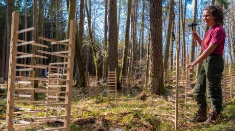 Die Wuchsgitter aus Esskastanienholz schützen die kleine Weißtanne, damit sie nicht von Unkraut überwuchert wird. Mirjam Heindel hat als Auszubildende mitgeholfen, die 725 Holzkonstruktionen in den Boden zu schlagen.