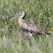 """Der große Brachvogel ist vom Aussterben bedroht. Unter anderem um ihm und anderen Wiesenbrütern wie dem Kiebitz wieder einen guten Lebensraum zu schaffen, wurde das Projekt """"Ökoflächen Buttenwiesen"""" ins Leben gerufen."""