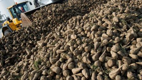 Ein Radlader transportiert Zuckerrüben zum Verarbeitungsförderband. Die deutschen Zuckerfabriken haben in diesem Jahr eine größere Ernte zu verarbeiten.