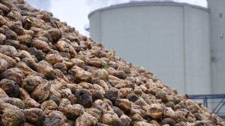 Bis zu 1,6 Millionen Tonnen Zuckerrüben werden jährlich im Südzucker-Werk in Rain zu Zucker verarbeitet. Jetzt könnten es noch einmal deutlich mehr werden.