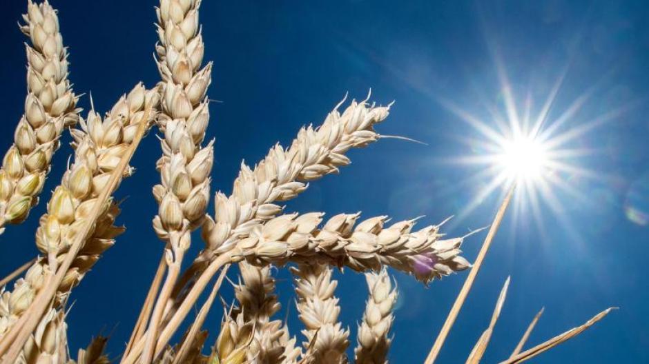 Getreideähren auf einem Feld. In vielen Regionen war es in diesem Frühjahr und Sommer zu trocken. Foto: Hauke-Christian Dittrich