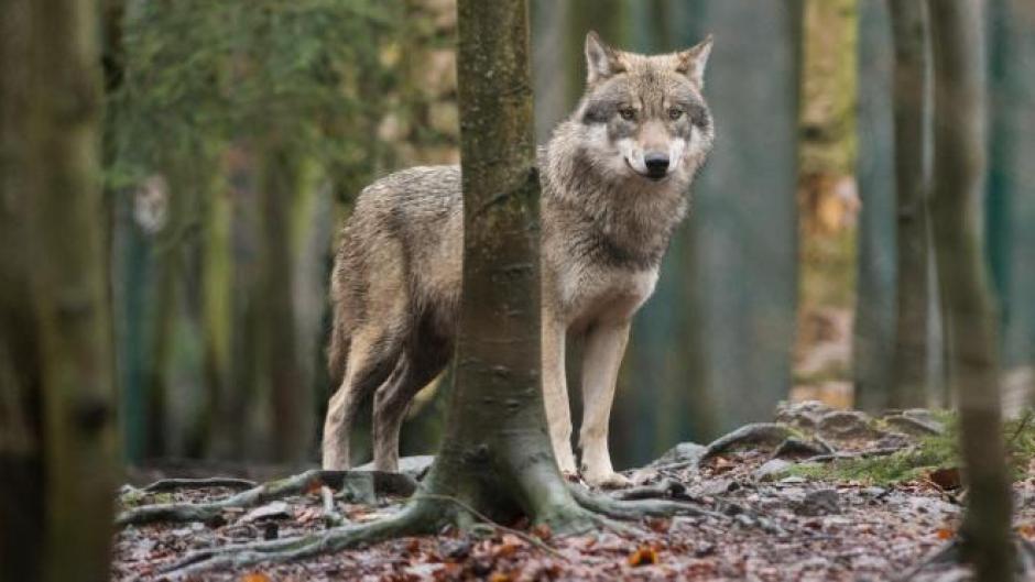 Wer im Wald auf einen Wolf trifft, sollte ihm Raum lassen. Vertreiben lässt er sich meist schon mit einem Händeklatschen. Foto: Klaus-Dietmar Gabbert