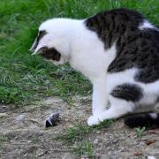 Katzen werden immer beliebter. Doch das hat auch Folgen für ihre potenziellen Beutetiere.
