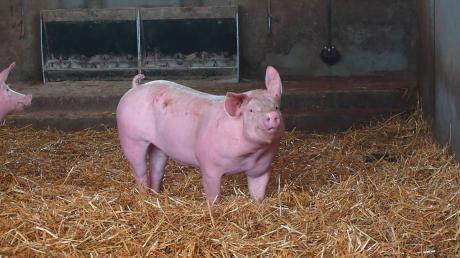 Unsere Schweine stehen auf dickem Strohstreu und werden mit eigenem, selbst angebautem Futter aufgezogen – genfrei aus Überzeugung.