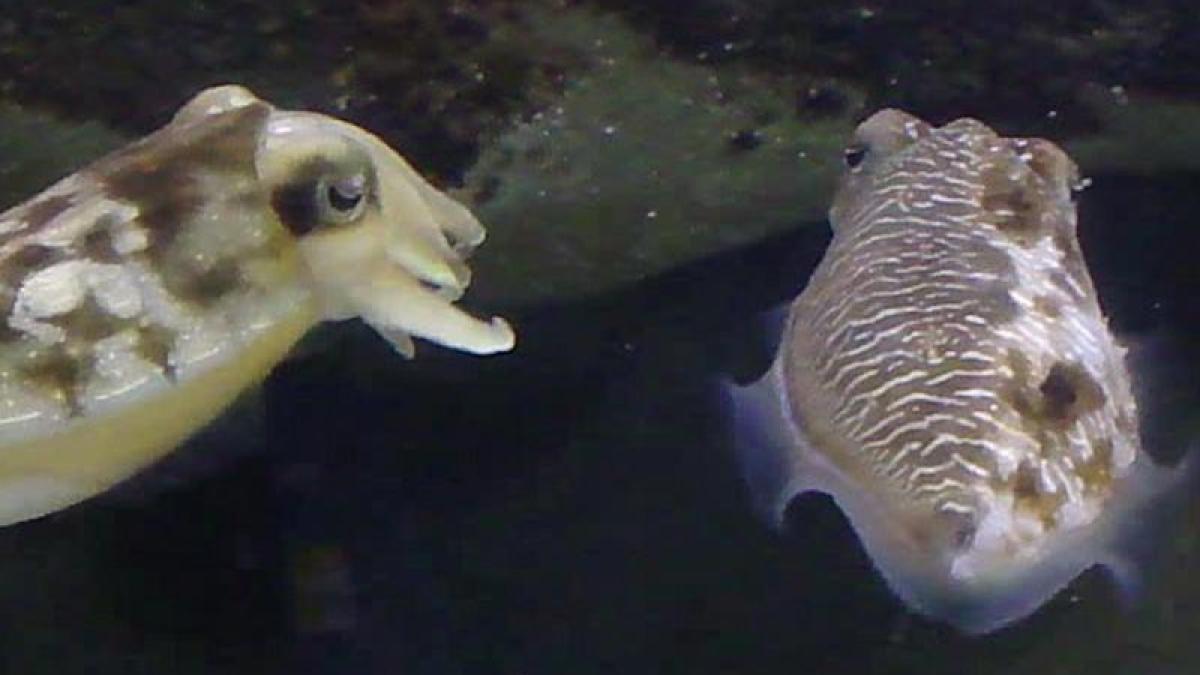 tierwelt clever m nnliche tintenfische verkleiden sich als frau wissenschaft augsburger. Black Bedroom Furniture Sets. Home Design Ideas