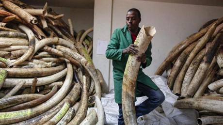 Sichergestelltes Elfenbein in einer Asservatenkammer im kenianischen Nairobi. Der internationale Handel mit Elfenbein ist verboten.