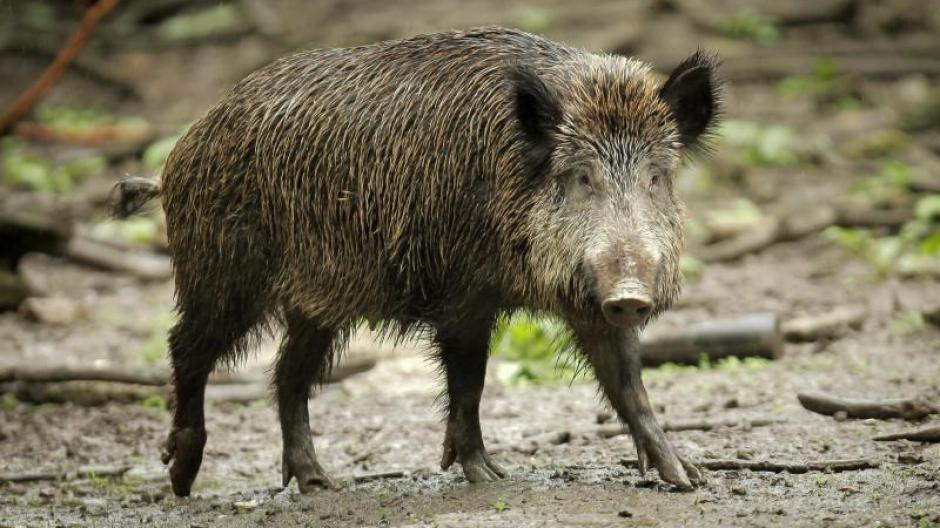 Bayern afrikanische schweinepest ist nicht nur die schuld der
