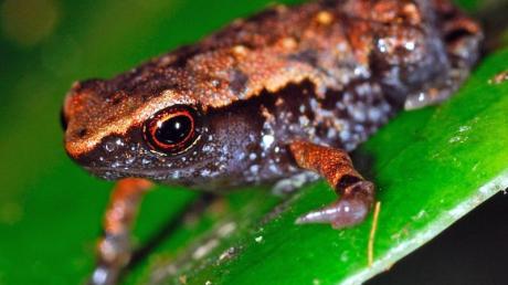 Dieser Zwergfrosch aus Madagaskar misst nur acht bis neun Millimeter und gehört damit zu den kleinsten Amphibien der Welt. Foto: Jörn Köhler/Hessischen Landesmuseum Darmstadt