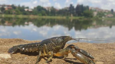 Ein Marmorkrebs (Procambarus virginalis) sitzt am Ufer eines Gewässers. Foto: Ranja Andriantsoa, Deutsches Krebsforschungszentrum/dpa